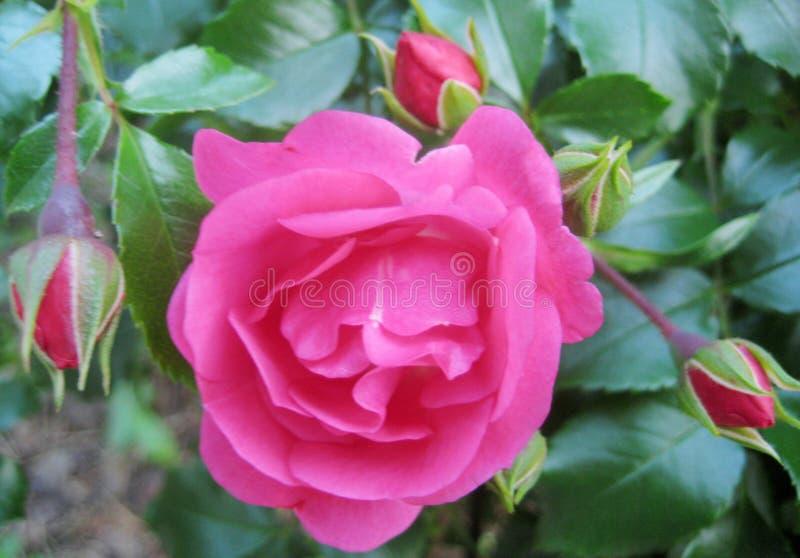 Makro- fotografia delikatni powiewni menchia kwiaty i wzrastał pączki Bush obraz royalty free