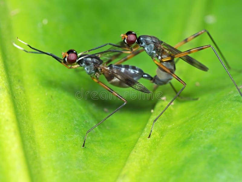Makro- fotografia Dwa insekta Ma płeć na Zielonym liściu zdjęcie stock