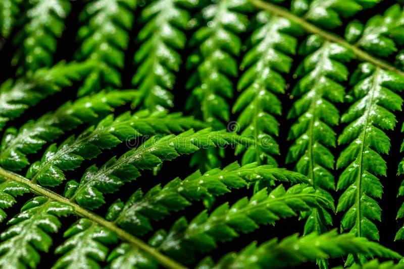 Makro- fotografia dwa liścia paproć obrazy royalty free