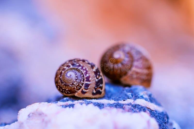 Makro- fotografia dwa małej skorupy ślimaczki zdjęcia stock