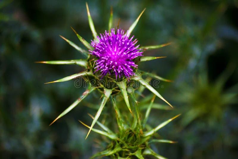 Makro- fotografia dzicy kwiaty wyspa Menorca zdjęcie stock