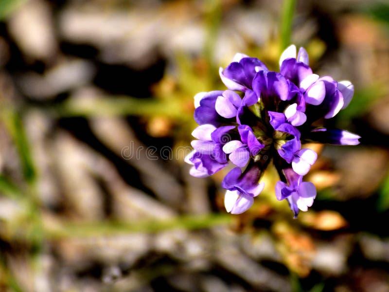 Makro- fotografia dzicy kwiaty wyspa Menorca obraz royalty free