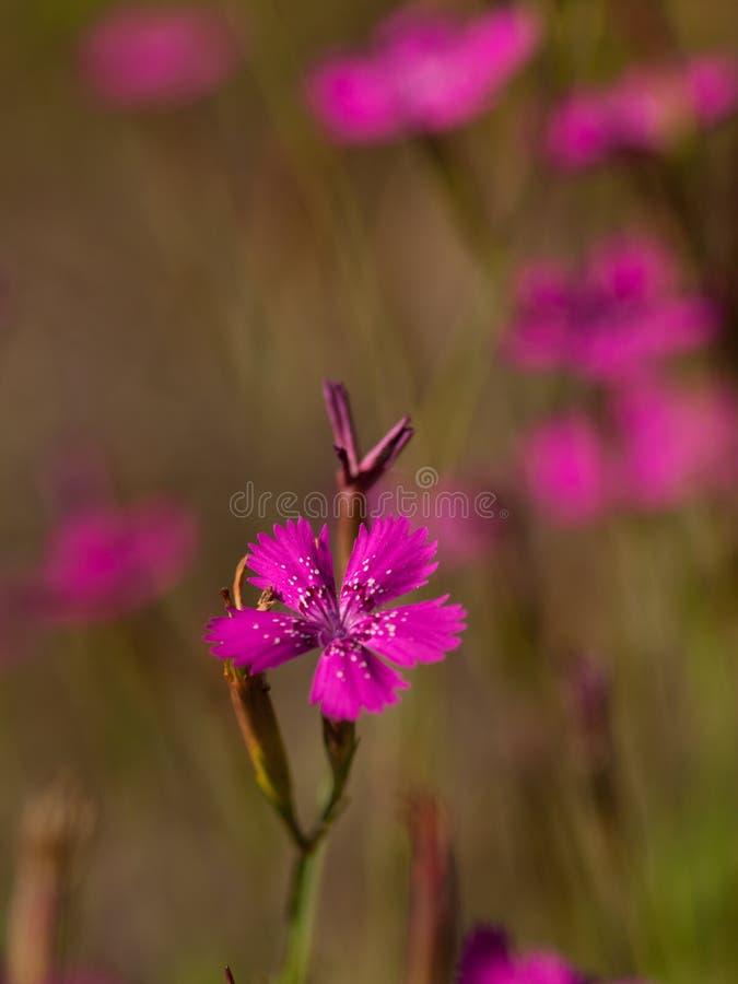 Makro- fotografia Kartuzjański Różowy Dianthus carthusianorum zdjęcie royalty free