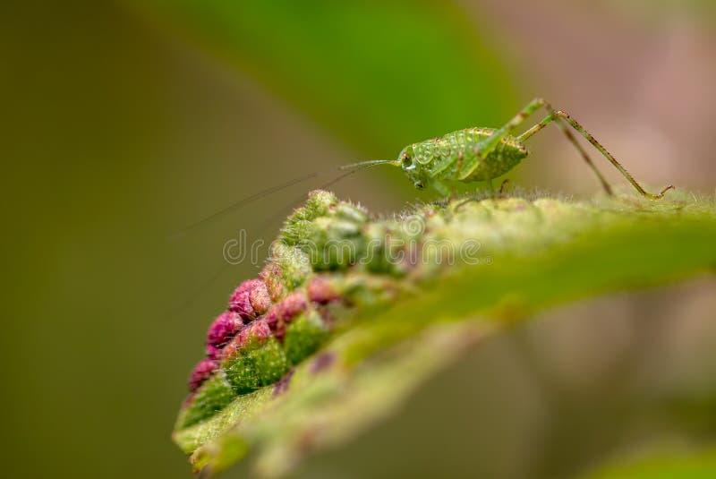 Makro- fotografia katydid na liściu zdjęcie royalty free