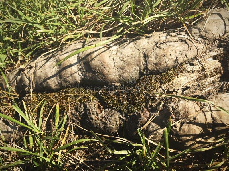Makro- fotografia korzeń drzewo ziemia, trawa i mech, fotografia stock