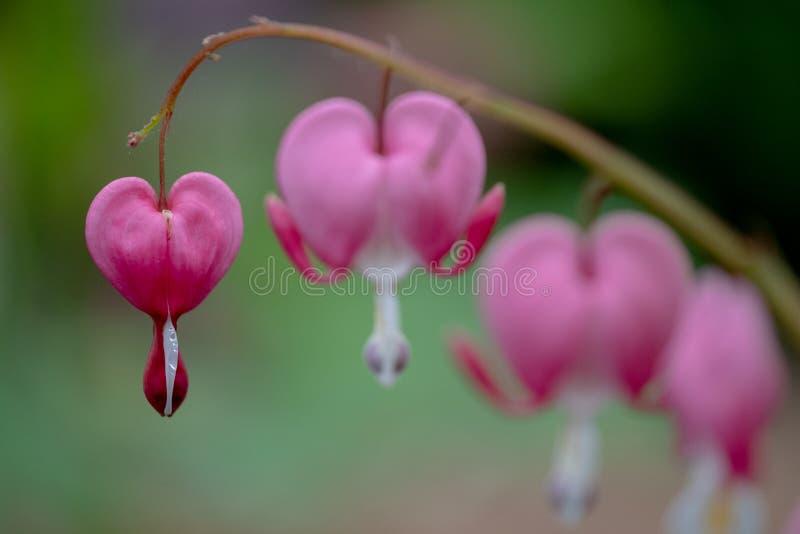 Makro- fotografia krwawi?cego serca kwiaty, tak?e zna? jak ?dama w sk?paniu ?lub lira kwiacie, fotografuj?cym w Surrey, UK zdjęcie stock