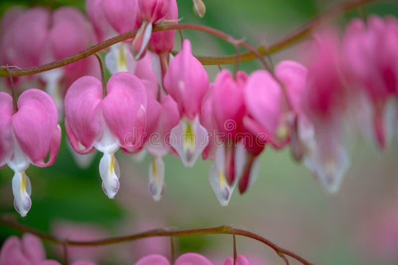 Makro- fotografia krwawi?cego serca kwiaty, tak?e zna? jak ?dama w sk?paniu ?lub lira kwiacie, fotografuj?cym w Surrey, UK fotografia stock