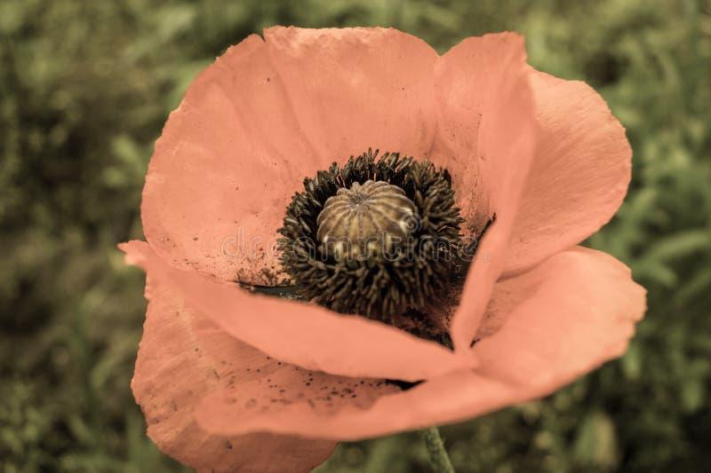 Makro- fotografia makowy kwiatu skutek obrazy royalty free
