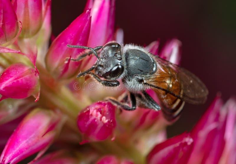Makro- fotografia Miodowej pszczoły Zbieracki nektar od menchia kwiatu, Selekcyjna ostrość zdjęcie stock