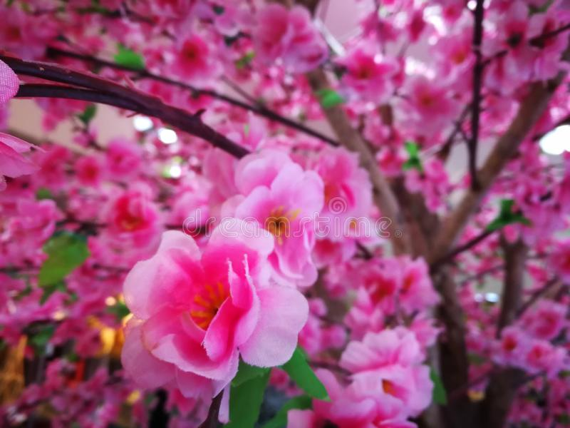 Makro- fotografia natur menchii Sakura kwiaty Tekstury tła kwitnienia menchii Sakura kwiat zdjęcia stock