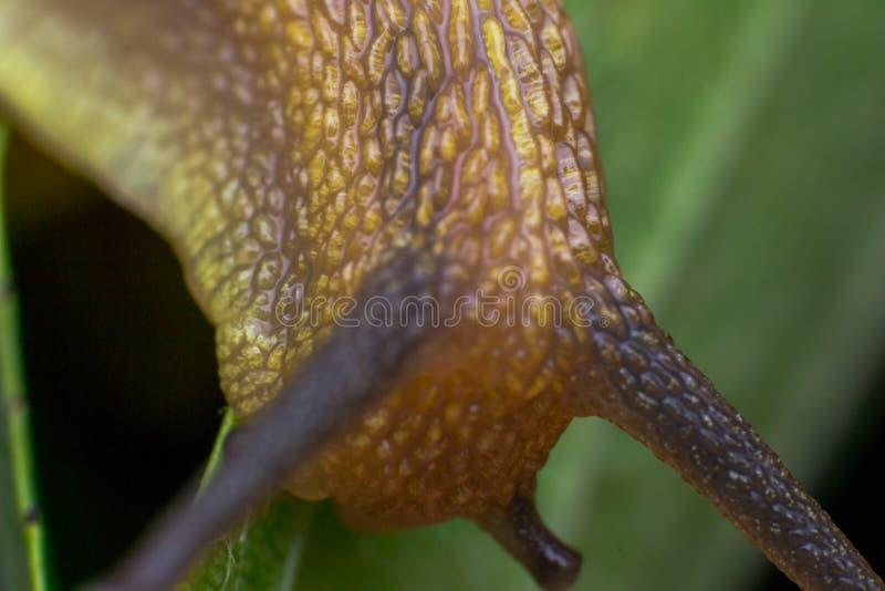 Makro- fotografia ogrodowy ślimaczek w lato sezonie obrazy stock