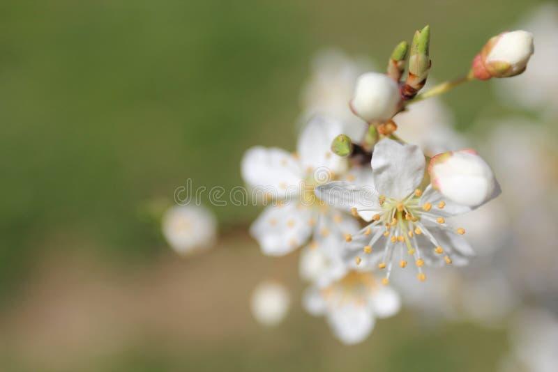 Makro- fotografia pączkuje i kwitnie na drzewie obraz royalty free