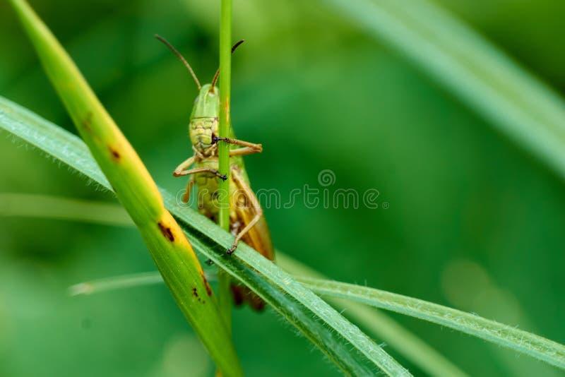 Makro- fotografia pasikonik na liściu w polu, pasikonik łasowanie insekt z długimi tylnymi nogami których dla używa zdjęcie stock