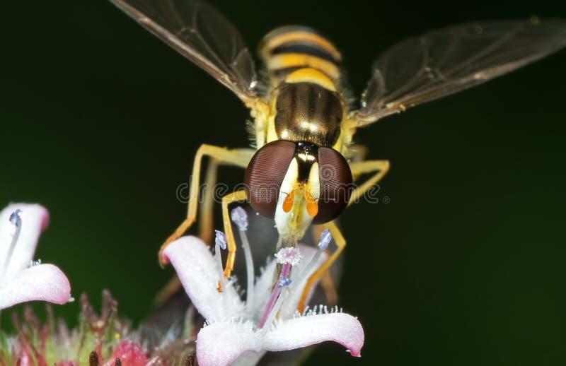Makro- fotografia Ssa nektar od kwiatu Odizolowywaj?cego na Rozmytym tle Hoverfly obrazy royalty free