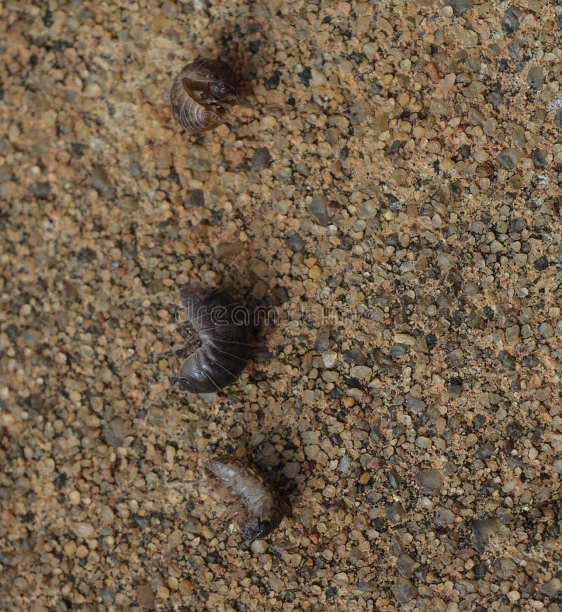 Makro- fotografia trzy rollie pollies na ziemi zdjęcia royalty free