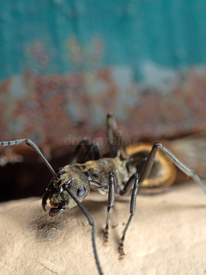 Makro- fotografia Złota tkacz mrówka na podłodze na tle obrazy royalty free