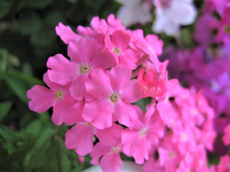 Makro- fotografia z dekoracyjną tło teksturą piękne delikatne menchie kwitnie płatki dla kształtować teren i uprawia ogródek kraj zdjęcie royalty free