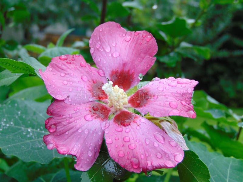 Makro- fotografia z dekoracyjną tło teksturą różowi płatki i kwiat struktura różani chińczyk lub poślubnik rośliny obraz royalty free