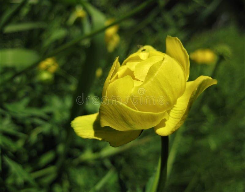 Makro- fotografia z dekoracyjnym tłem kwiatu pączka tekstura z jaskrawymi żółtymi płatkami zielne rośliny dla kształtować teren obraz stock