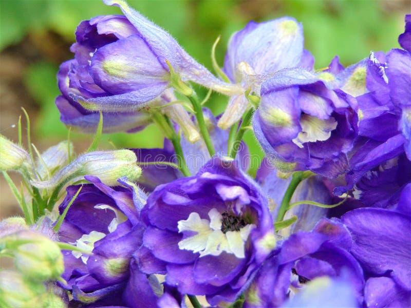 Makro- fotografia z dekoracyjnym tłem piękni fiołkowi kwiaty delphinium od rodziny jaskiery obrazy royalty free