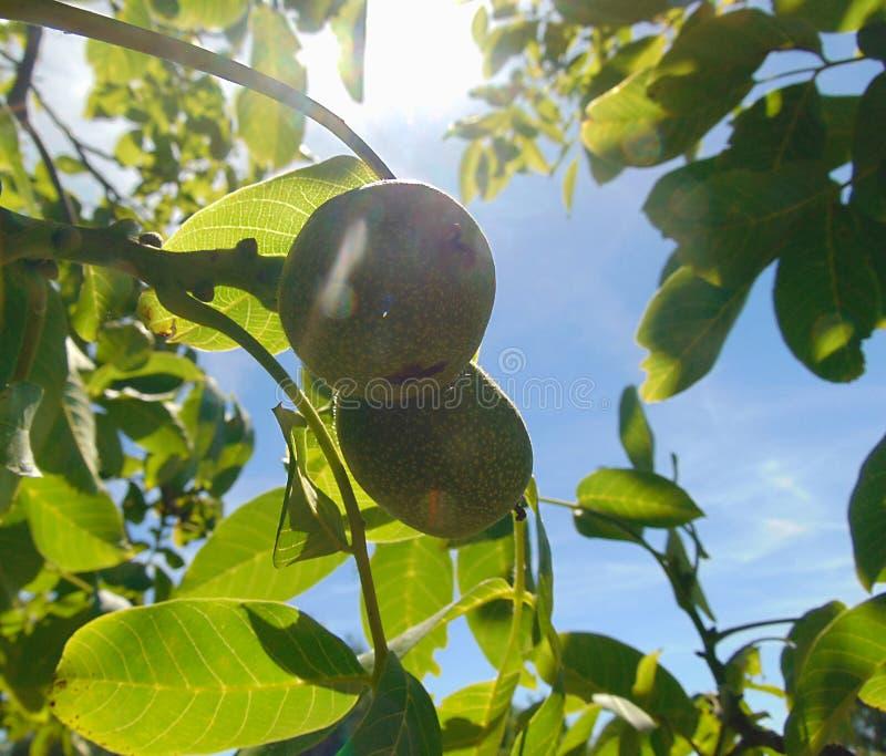 Makro- fotografia z dekoracyjnym tłem zielona orzech włoski owoc na gałąź orzecha włoskiego drzewo podczas lata maturation obrazy stock