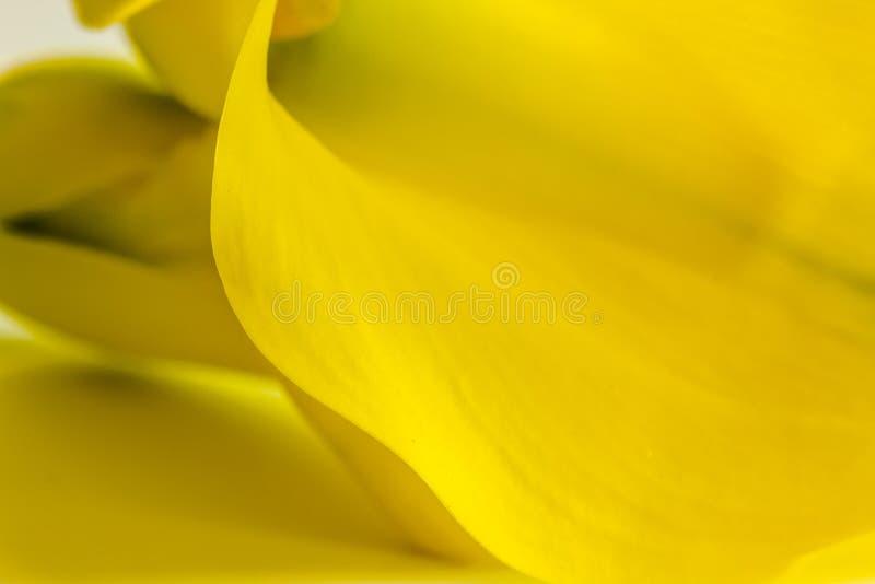 Makro- fotografie żółci kalii lelui kwiaty zdjęcia royalty free