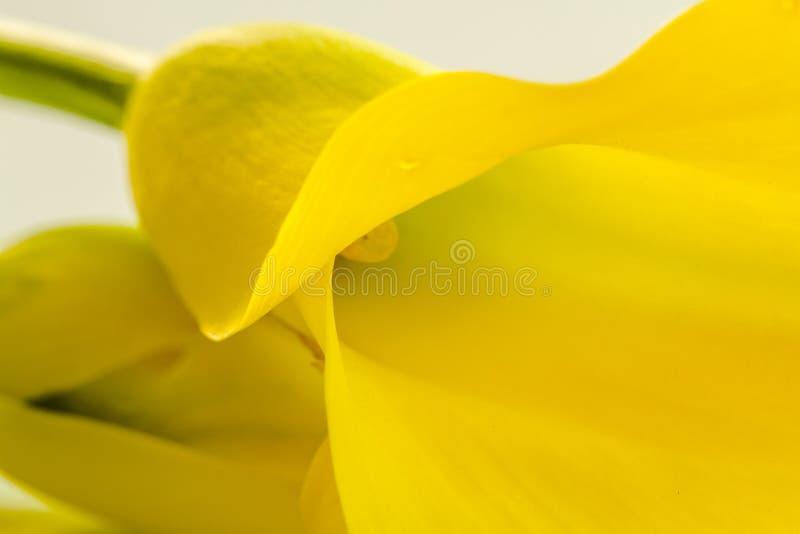 Makro- fotografie żółci kalii lelui kwiaty obrazy royalty free