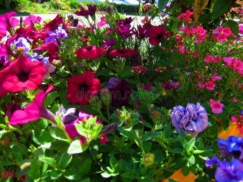 Makro- fotografie z jaskrawymi pięknymi kwiatami petunia dla kształtować teren obraz royalty free