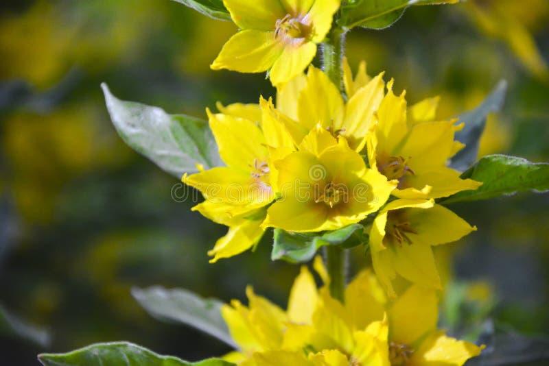 Makro- fotografii natury żółtego Lysimachia vulgaris kwiat Tekstury tła żółtego loosestrife prosty złoty kwiat Wizerunek roślina fotografia royalty free