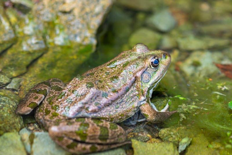 Makro- fotografii natury żaby płazi jeziorny obsiadanie na wodzie zdjęcie royalty free