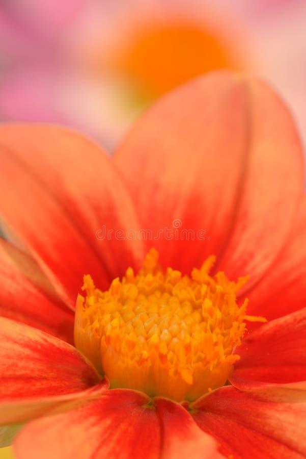 Makro- fotografii pomarańcze i czerwieni barwiona dalia fotografia stock