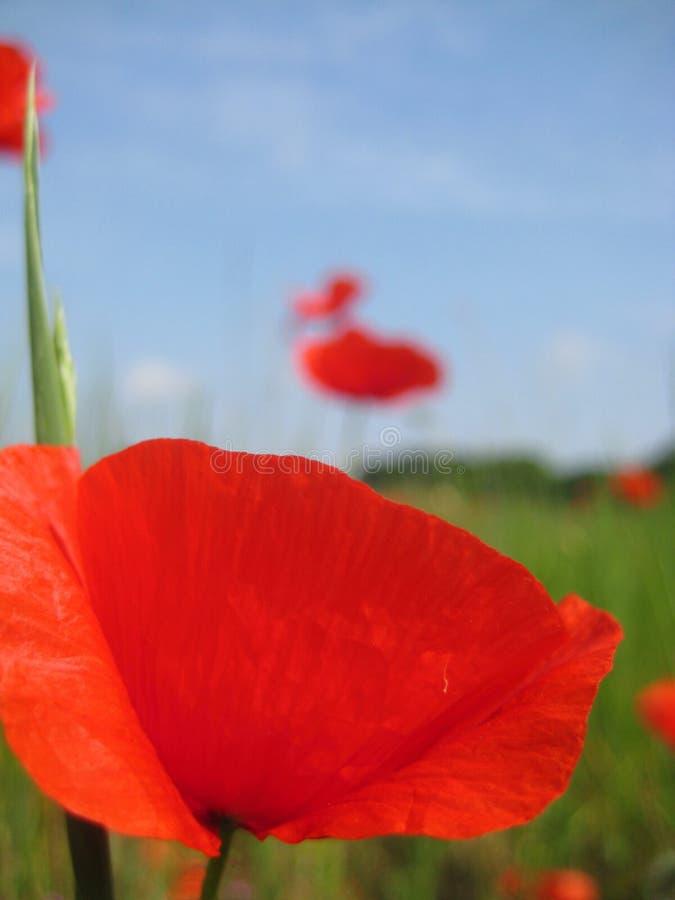 Makro- fotografii tło z pięknymi kwiatonośnymi zielnymi roślinami kwitnie Makowych czerwonych wielkich powiewnych płatki zdjęcie royalty free