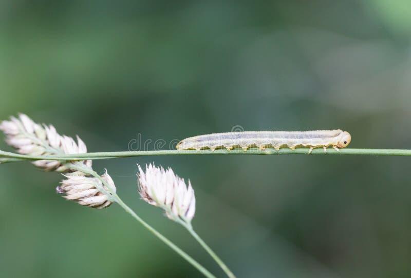 Makro- gąsienica zdjęcie stock
