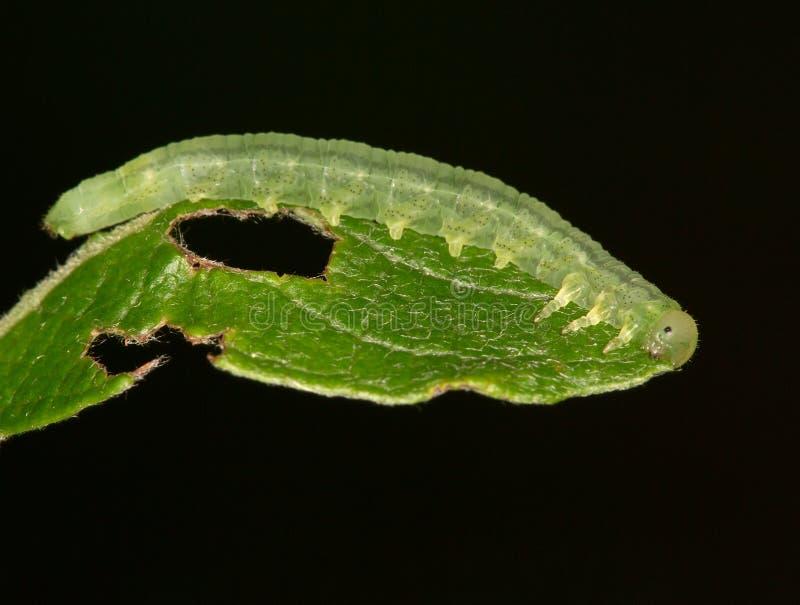 Makro- gąsienica: Agrochola lychnidis zdjęcie royalty free