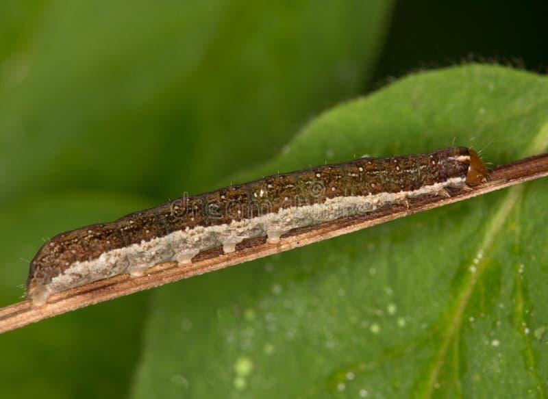 Makro- gąsienica: Agrochola lychnidis obrazy royalty free