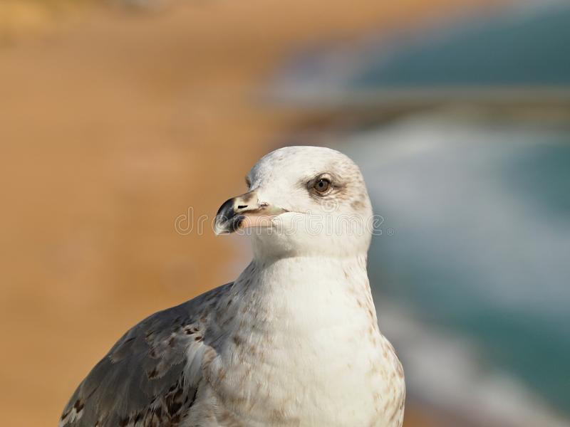 Makro- głowa seagull obrazy stock
