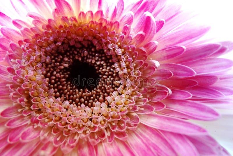 Makro- Gerbera kwiat obraz stock
