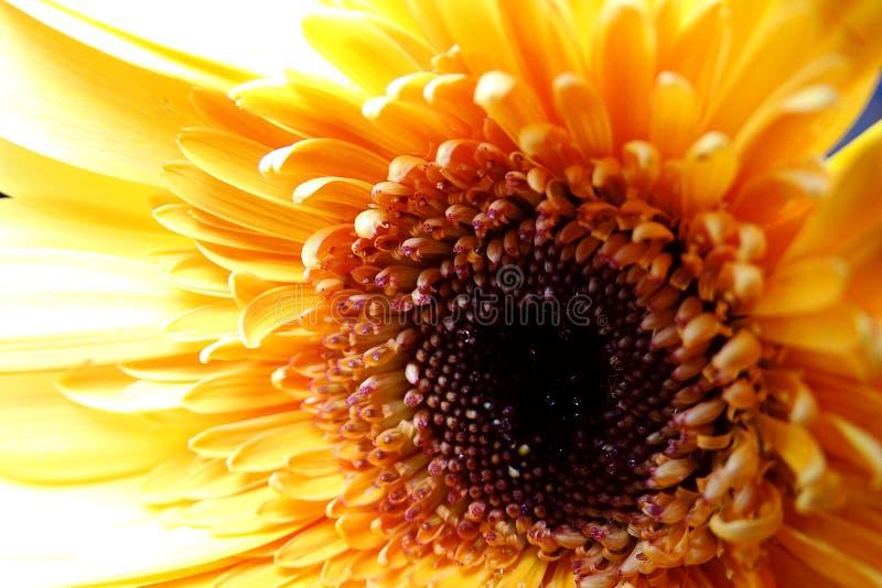 Makro- Gerbera kwiat zdjęcie stock