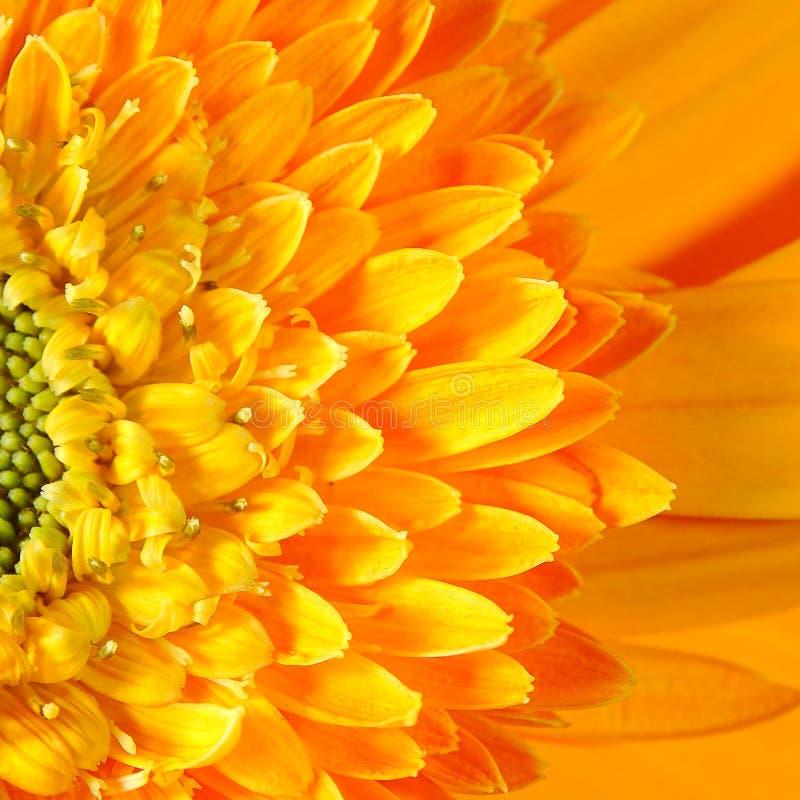 Makro- Gerbera kwiatu Capitulum obrazy stock