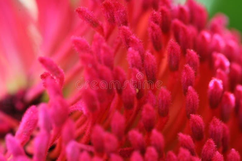 Makro- Gorących menchii Stamens obrazy stock