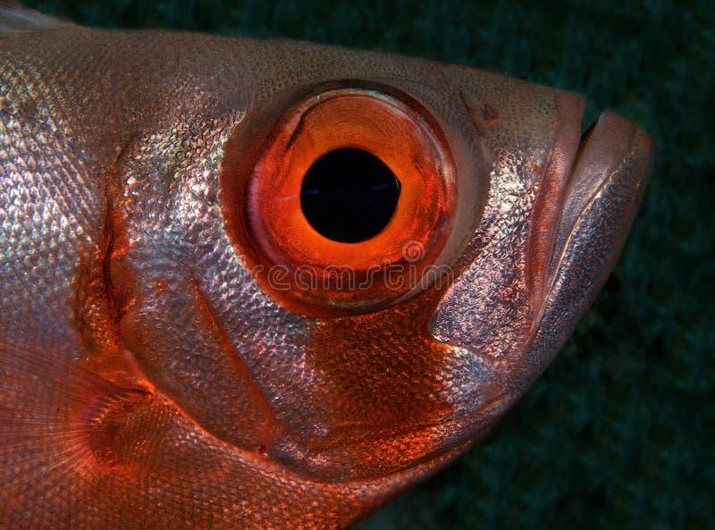 Makro grande dos peixes do olho imagem de stock royalty free