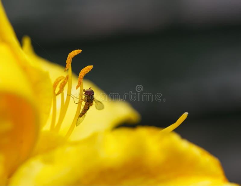 Makro, hoverlfy auf Staubgefässe des gelben Daylily Hemerocallis lizenzfreie stockbilder