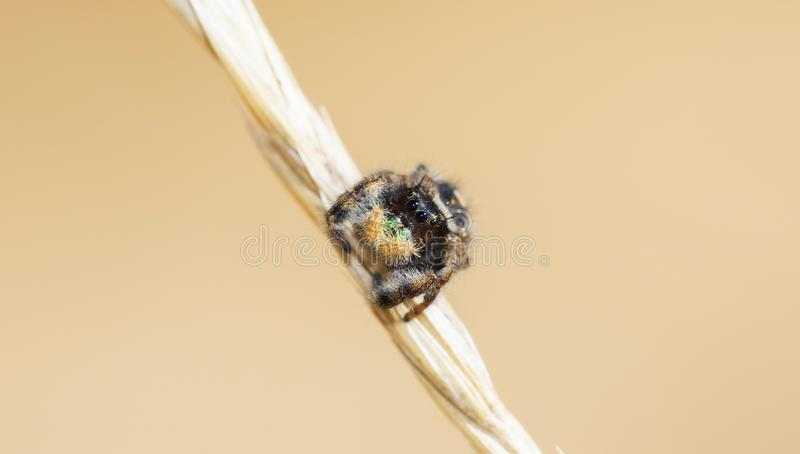 Makro- Jaskrawy & Kolorowy, Piękny Śmiały Skokowy pająka Phidippus audax na Wysuszonym badylu trawa obrazy stock