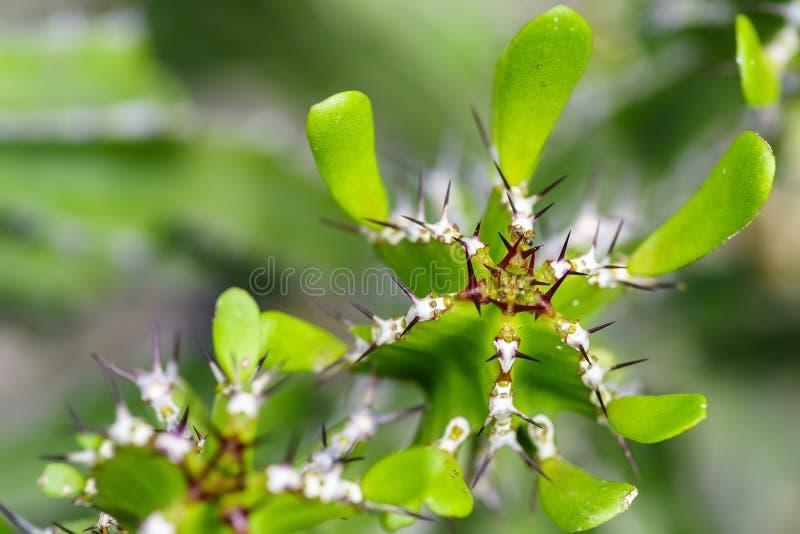 Makro- kandelabru kaktus, euforbii lactea, selekcyjna ostrość obraz royalty free