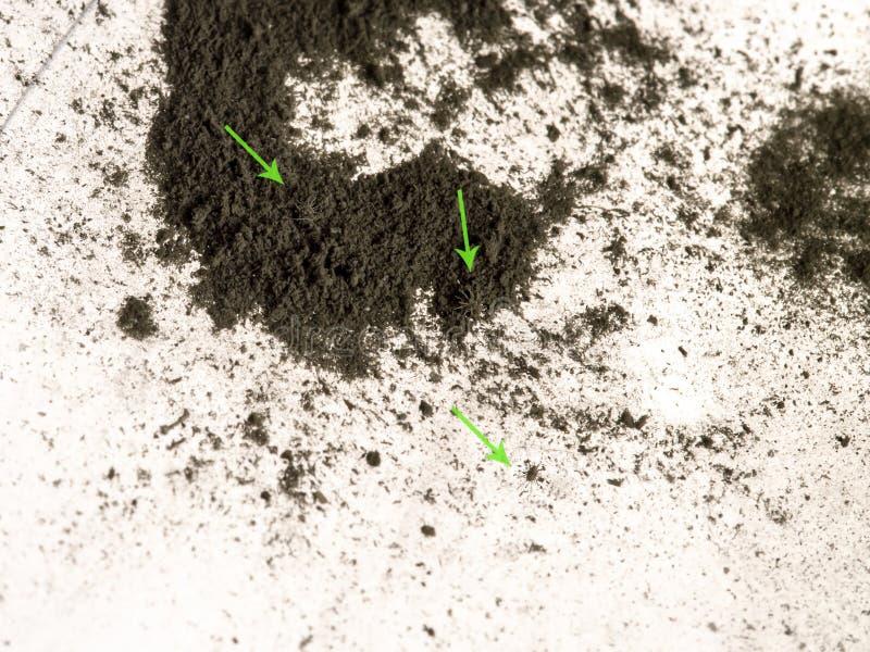 Makro- kilka malutkie Domowe pył lądzieniec, ledwo widoczny nagi oko zdjęcia royalty free