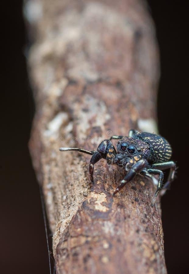 Makro-kleine schwarze springende Spinne mit großem Auge stockfotos