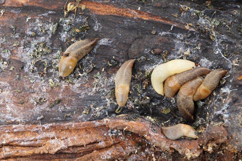 Makro- kolorowa barwiąca jaskrawa Kaukaska mollusk podrożec zdjęcie stock