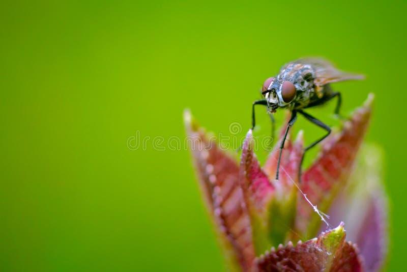 Makro- komarnicy obsiadanie na kwiacie obraz stock