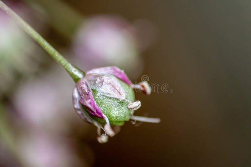Makro- krótkopęd od ślicznego kwiatu pączka - naturalni kolory zdjęcia royalty free