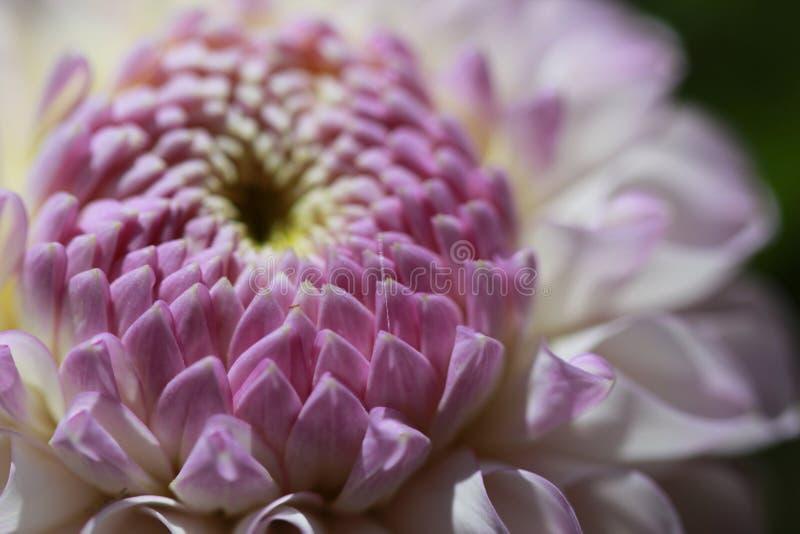 Makro- kwiat fotografia royalty free